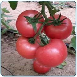 Pomidor szklarnia/tunel MALINOWY MAL200 F1