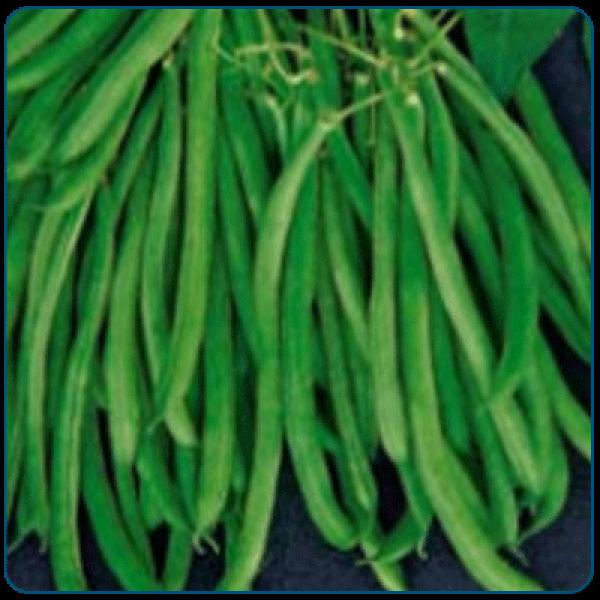 Fasola tyczna zielona okrągła COBRA