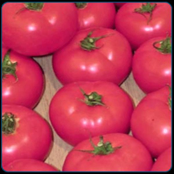 Pomidor szklarnia/tunel MALINOWY GIANT PINK F1