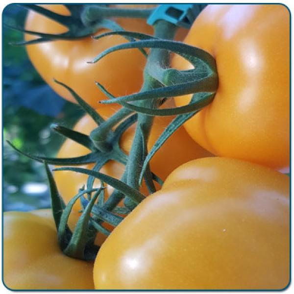 Pomidor szklarnia/tunel żółty SANTORIA F1 (nazwa tymcz. SOLARIS F1)